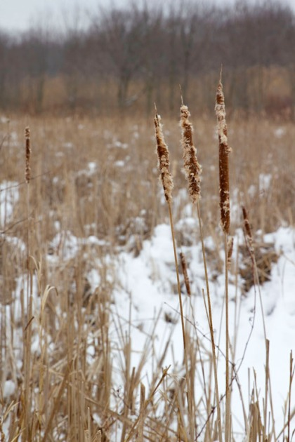 Cattails